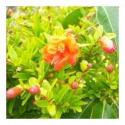 Punica granatum (Pomegranate)