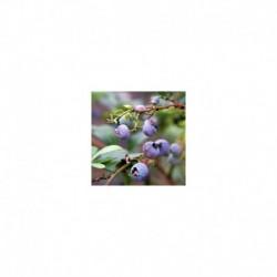 Blueberry 'Blue Crop'