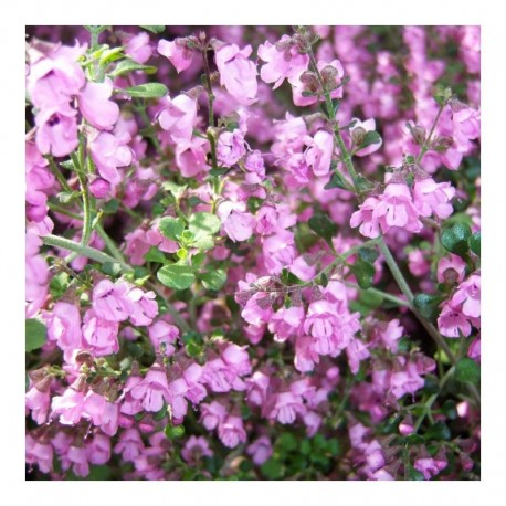 Prostanthera Cuneata Mint Bush
