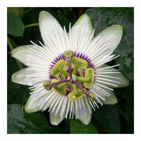 Passiflora Winterland