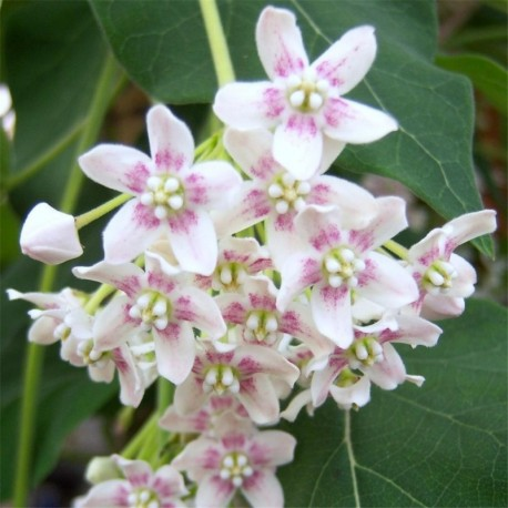 Wattakaka sinensis (Dregea sinensis)