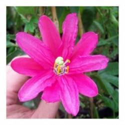 Passiflora Pinky