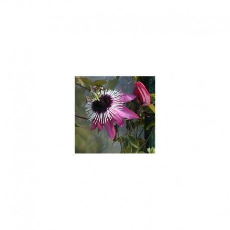 Passiflora Atropupurea