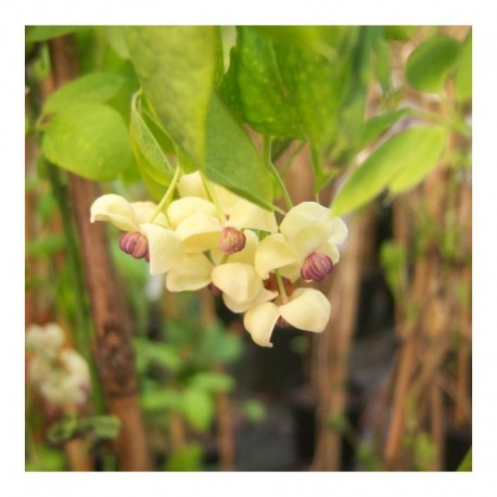 Akebia quinata Cream form