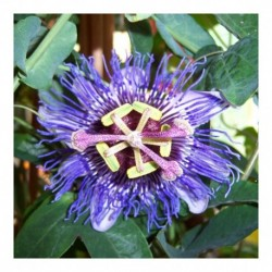 Passiflora Purple Rain