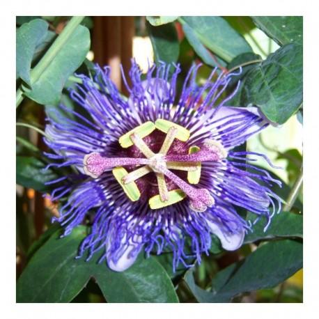 Passiflora Purple Rain
