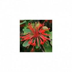 Embothrium coccineum 'Inca Flame'
