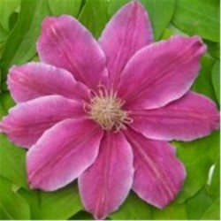 Clematis 'Bee's Jubilee' (AGM)
