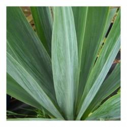 Beschorneria yuccoides 'Quick Silver' 10ltr