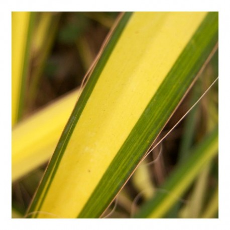 Yucca filamentosa 'Gold Sword'