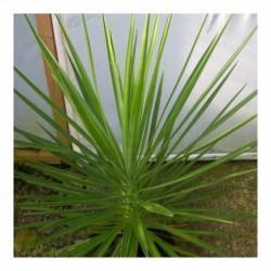 Yucca whipplei (AGM)