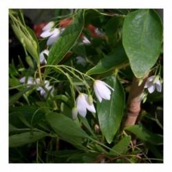 Sollya heterophylia (White)