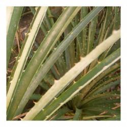 Puya chileansis
