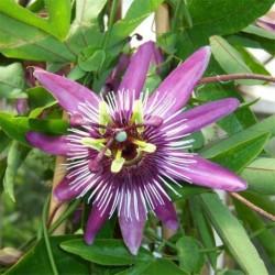 Passiflora 'Rubra'