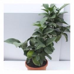 Citrus Lemon Four Seasons mini stem