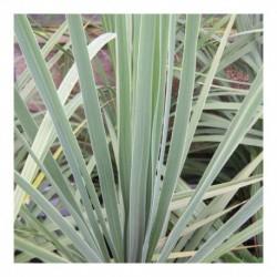 Cordyline australis (AGM)