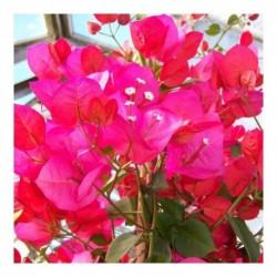 Bougainvillea (Cerise/red)