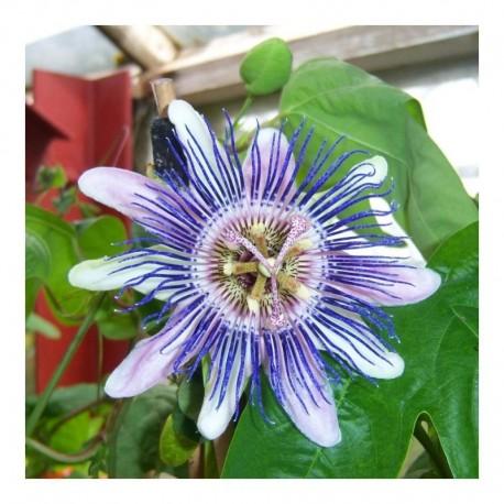 Passiflora x allardii