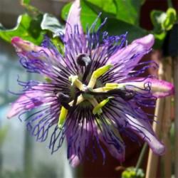 Passiflora 'Maria'