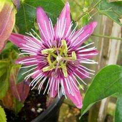 Passiflora x violacea 'Eynsford gem'