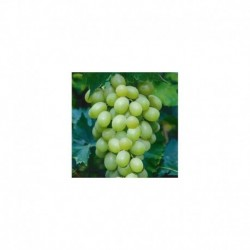Grafted grapevine Chardonnay