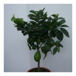 Citrus Lemon 4 seasons 80cm standard