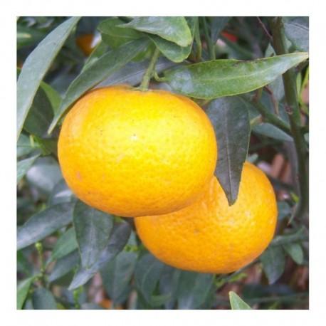 Citrus Satsuma Standard