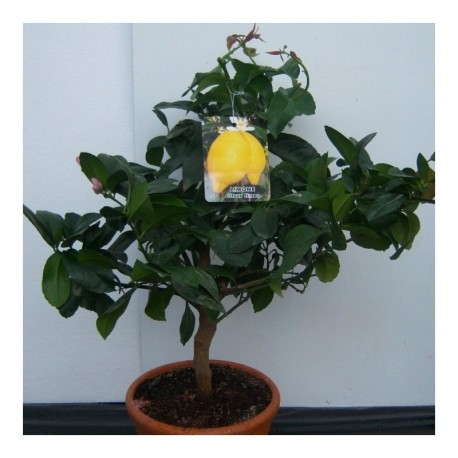 Citrus Lemon 4 seasons