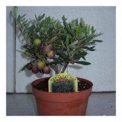 Olea europaea. Olive bush