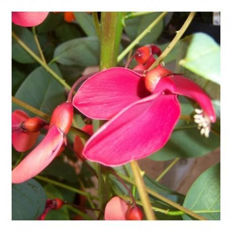 Erythrina crista-gallis