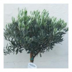 Olea europaea 150cm Standard Olive tree.