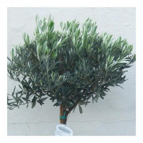 Olea europaea 140cm Standard Olive tree.