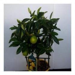Citrus Limequat bush
