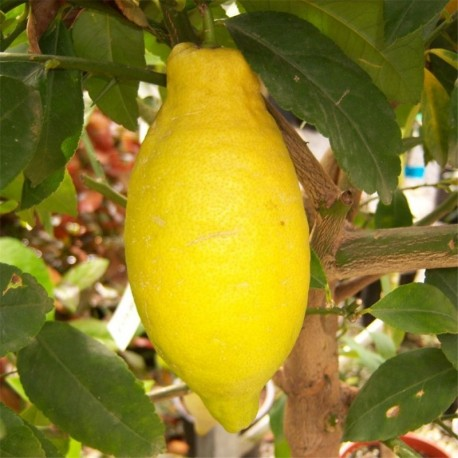 Citrus Lemon 4 Seasons Medium Standard