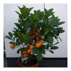 Citrus Orange 'Calamondin' Large Bush