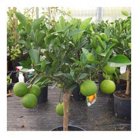 Citrus Orange sinensis Half Standard