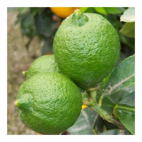 Citrus Lime 'Tahiti' mini standard