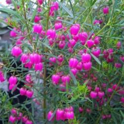 Boronia heterophylla