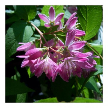 Deutzia Hybridan Strawberry Fields AGM