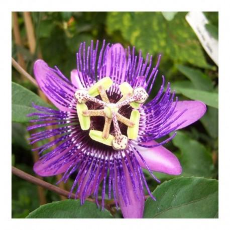 Passiflora ムMonika Fischerメ