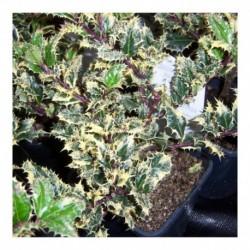 Ilex aquifolium 'Ferox' Aurea (male)