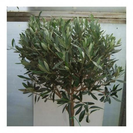 Olea europaea Pair of 100cm Standards