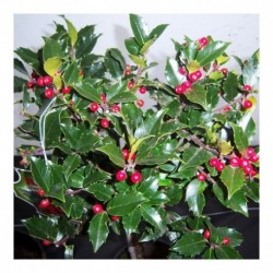 Holly Bush collection