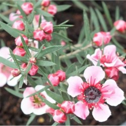 Leptospermum scoparium Martini
