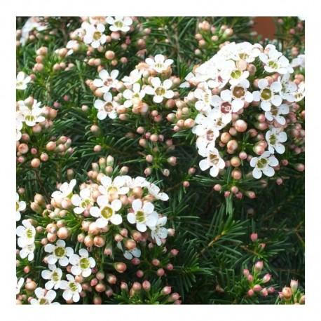 Chamelaucium Uncinatum Moonlight Delight (Waxflower)