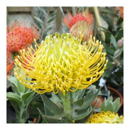 Leucospermum 'Yellow Carnival'