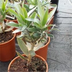 Leucadendron argenteum 'Silver Tree'