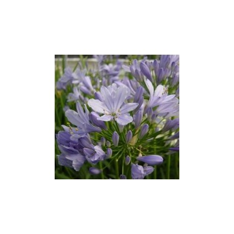 Agapanthus 'Baby Blue'