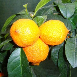 Citrus Lime 'Limetta'