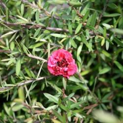 Leptospermum scoparium Red Damask